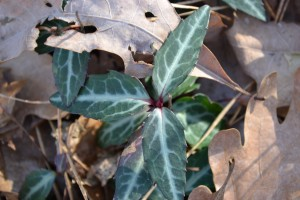 Cimaphila maculata in Cummaquid, MA