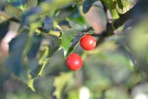 Ilex opaca berries