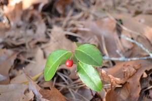 Wintergreen berry.  Nickerson State Park December 31, 2010