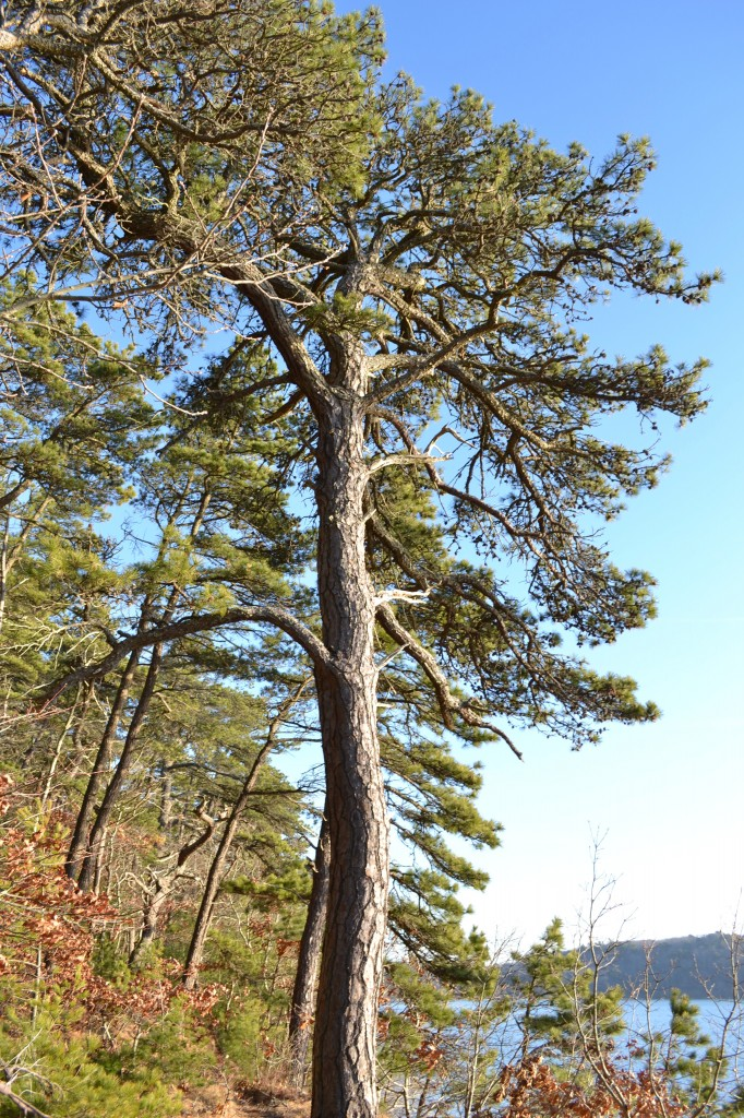 Majestic pitch pine at the edge of Cliff Pond, Brewster MA, December 31, 2010