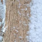 White oak bark in snow