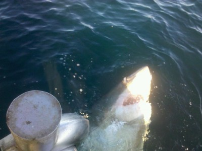 Great White of Chatham, December 20 2010