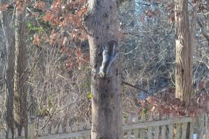Opportunist gray squirrel seeking lunch