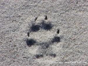 Coyote tracks on the beach
