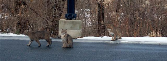 Photo of bobcats in the Berkshires copyright George Baldasarre 2009