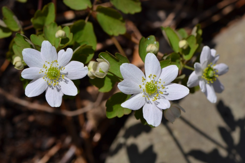 rue anemone on Easter sunday