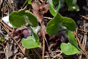 wild ginger flowering April 24 2011