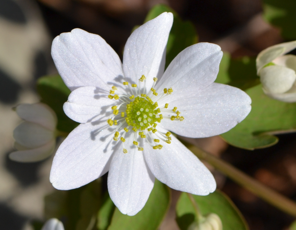 Easter sunday rue anemone