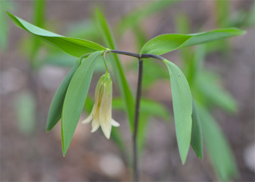 sessile bellwort flower