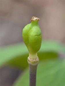 twinleaf seedpod