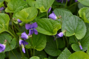 woolly blue violet May 8 2011