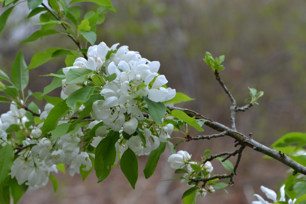 tree in bloom May 8 2011