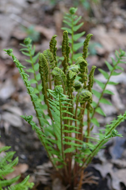 Ferns we have i have a handful in the woodland garden reaching over