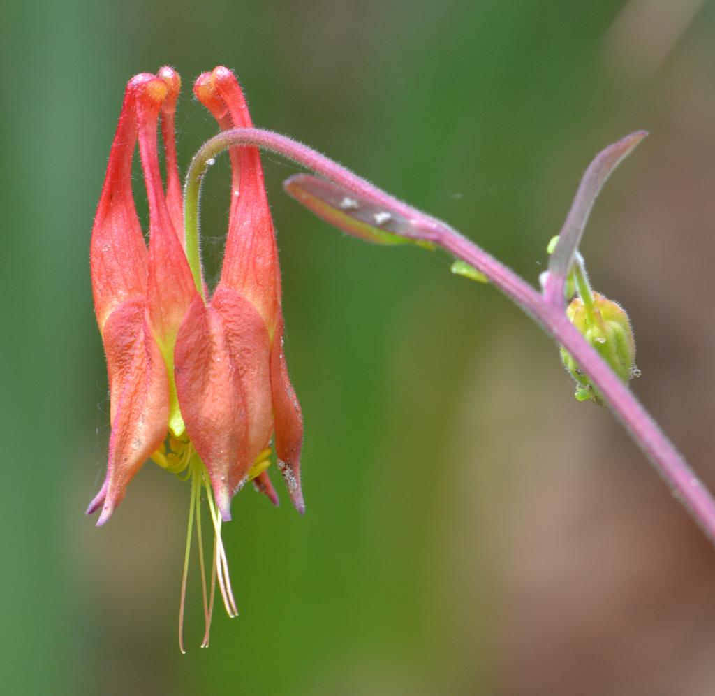 wild columbine flower May 1 2011