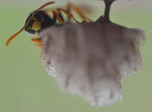 paper wasp May 21 2011