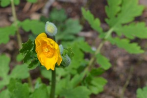 wood poppy May 2011
