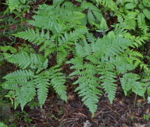 Pteridium aquilinum June 12 2011