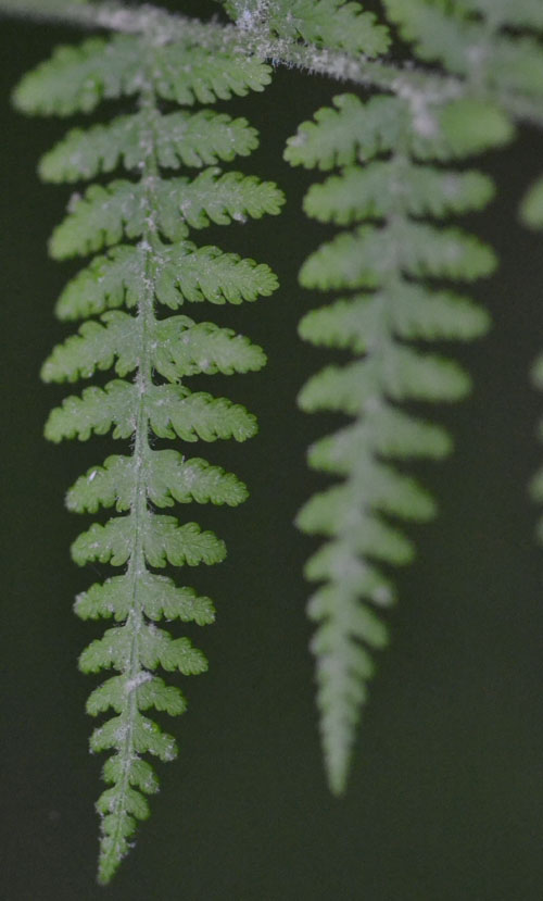 hayscented fern June 10 2011