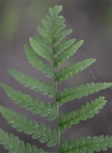 marginal wood fern June 10 2011