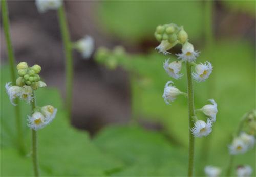 Mitella diphylla May 2011
