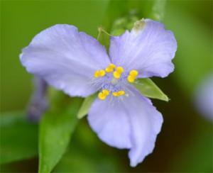 Bluejacket spiderwort June 18, 2011