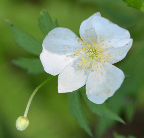 Anemone canadensis in the woodland garden June 5 2011