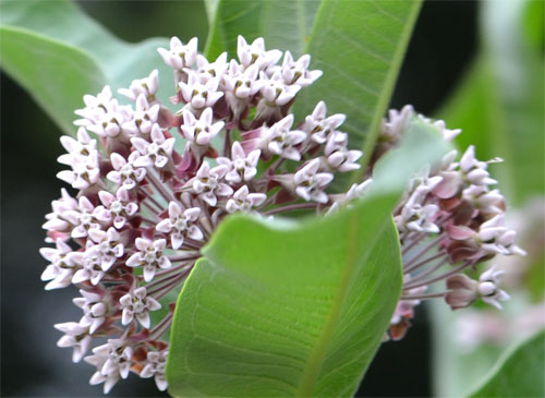 common milkweed July 8 2011, close-up of flowers