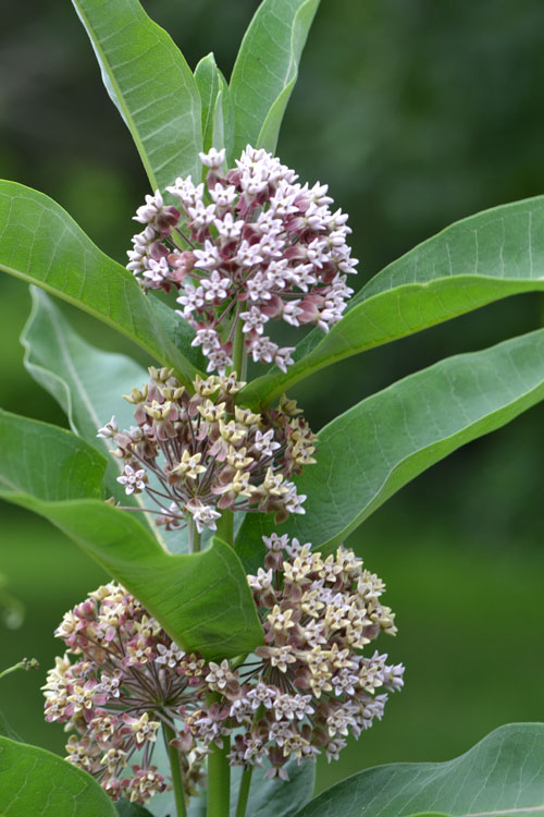 common milkweed July 8 2011