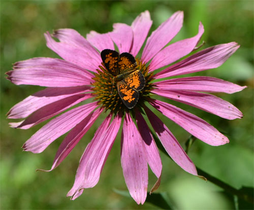 purple coneflower with butterfly July 17 2011