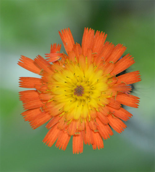 orange hawkweed July 1 2011