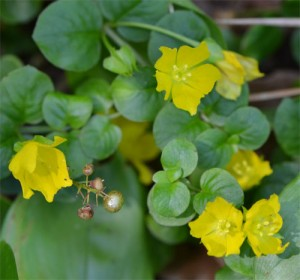 moneywort July 1 2011