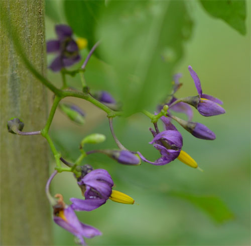 climbing nightshade July 1 2011