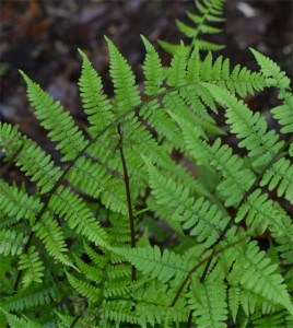 Lady fern June 20 2011