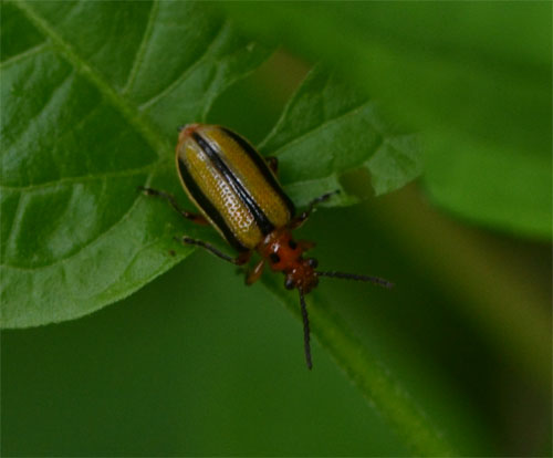 three lined potato beetle Cummaquid July 1 2011