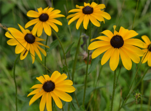 blackeyed susan July 8 2011 Barnstable