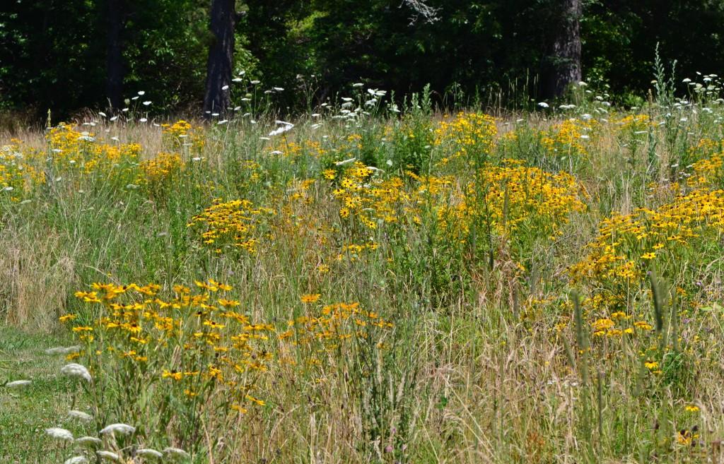 summer meadow Brewster July 17 2011