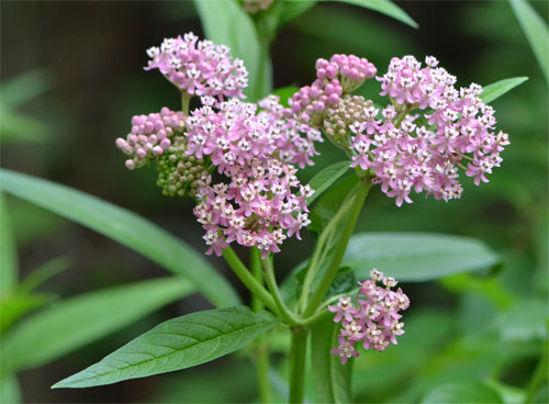 swamp milkweed July 8 2011