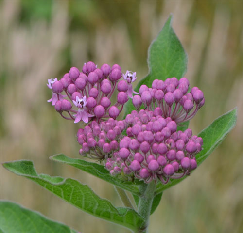swamp milkweed July 8 2011 Bridge Street conservation area, Barnstable