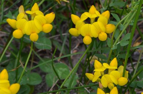 Lotus corniculatus July 1 2011