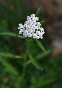 yarrow July 1 2011