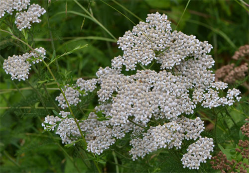 yarrow July 8 2011