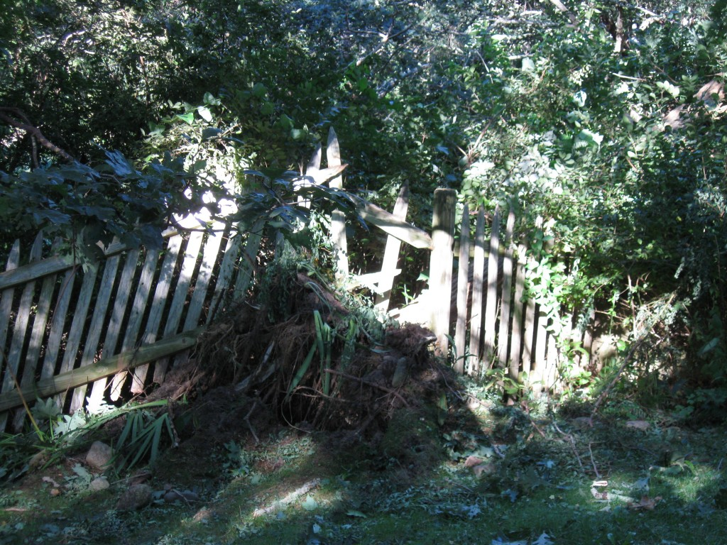 storm damage from Irene - downed black locust