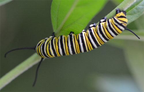 monarch caterpillar August 6 2011