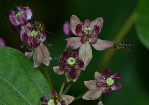 Asclepias amplexicaulis July 17 Brewster