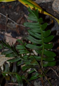 polypodium vulgare September 18 2011