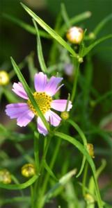 Coreopsis rosea August 1 2011