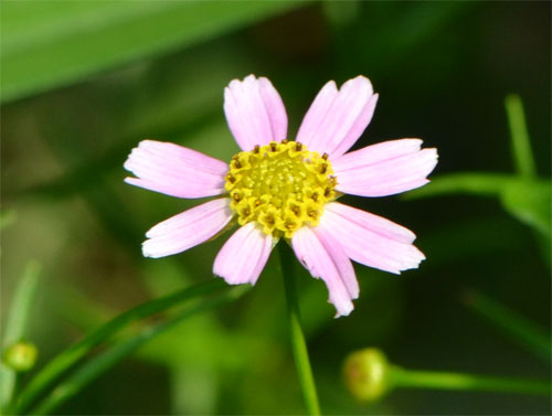 Coreopsis rosea August 1 2011