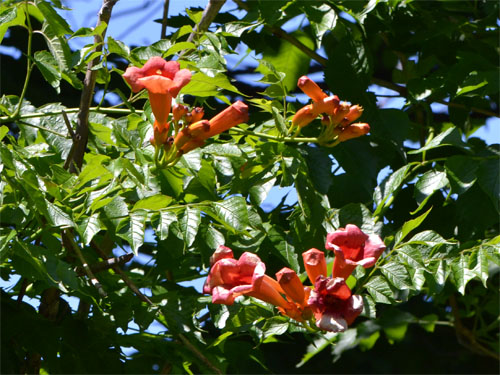 Campsis radicans roadside route 6A, Dennis, July 17 2011