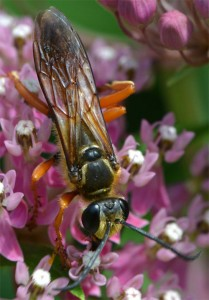 great golden digger wasp August 6 2011