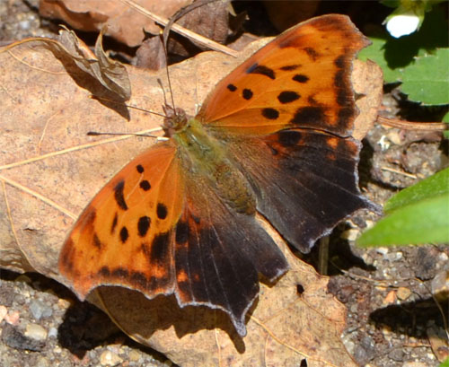 eastern comma, Cummaquid April 21 2012